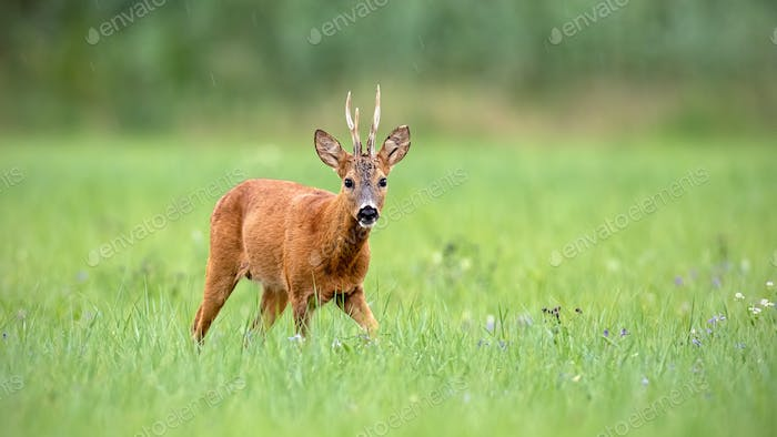 Roe deer buck walking towards camera with green background