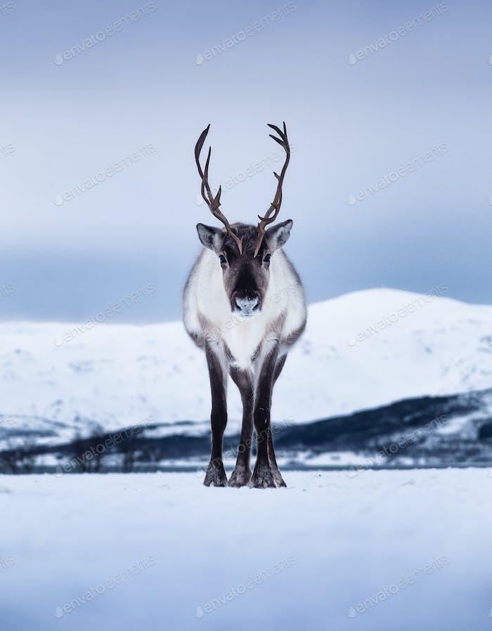 Hirsch auf den Lofoten, Norwegen