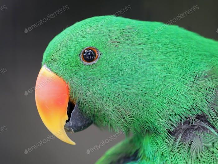 Eclectus parrot portrait