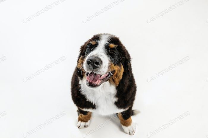 Studio shot of berner sennenhund puppy on white studio background