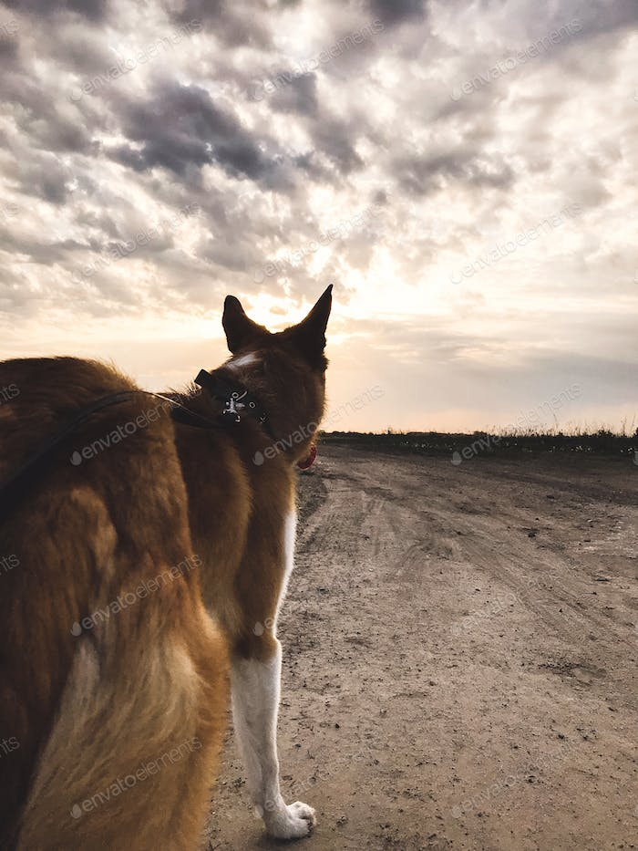 Cute golden dog standing and looking at sunset at sky