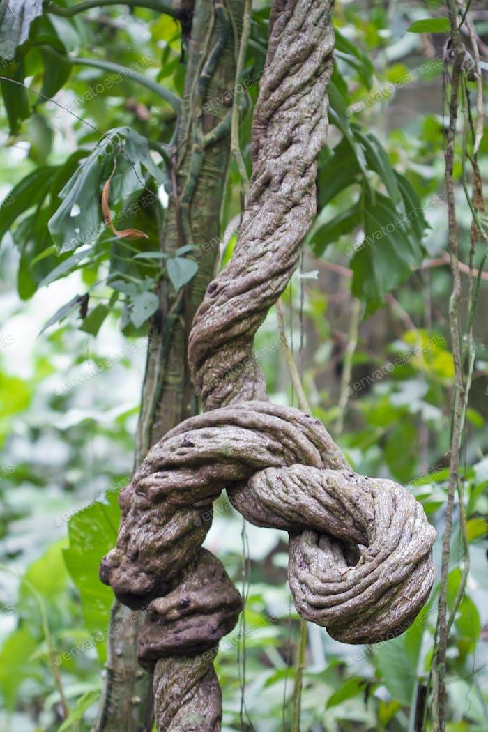 Large Liana Vine in the Costa Rican Jungle