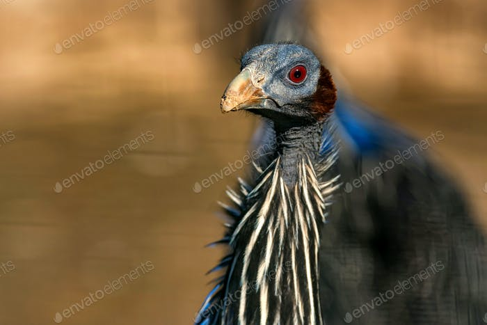 Vulturine guineafowl or Acryllium vulturinum in nature