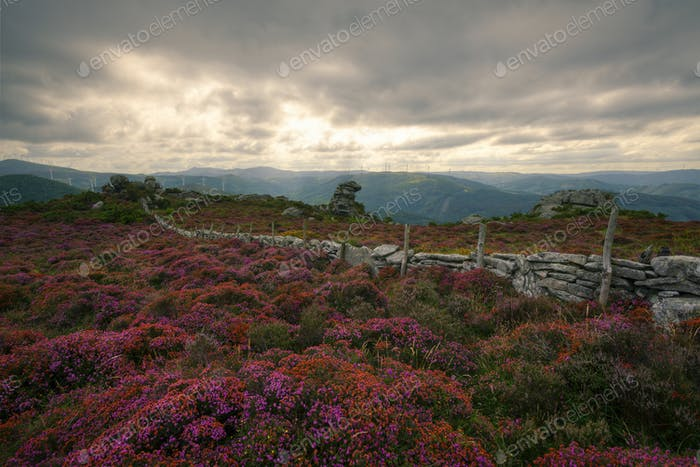 Blooming Purple Heather Spreads and Dry Stone Wall