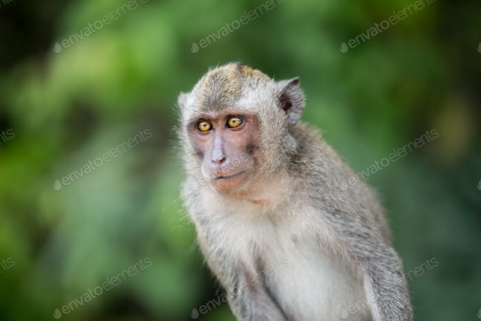 Sitting macaque monkey
