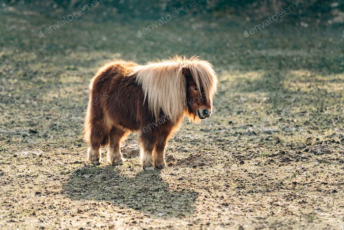Shetland Pony grazing on a green meadow. Ponies walk on a green glade. A pony with a big mane.