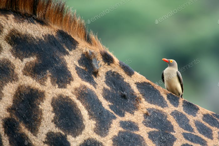 Giraffe and Oxpecker Bird -  Tanzania, Africa