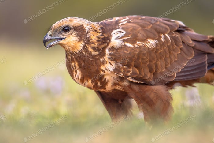 Marsh harrier female close up