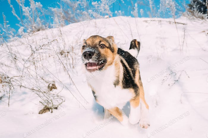 Puppy Of Mixed Breed Dog Playing In Snowy Forest In Winter Day