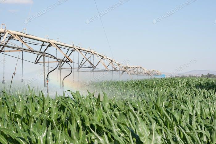 corn field and rainbow