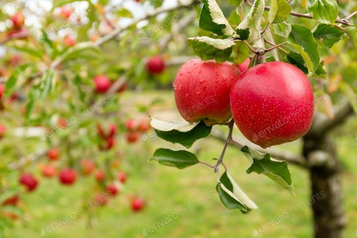 Apple tree farm garden