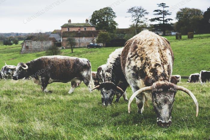 Manada  de vacas inglesas que pastan en un pasto.
