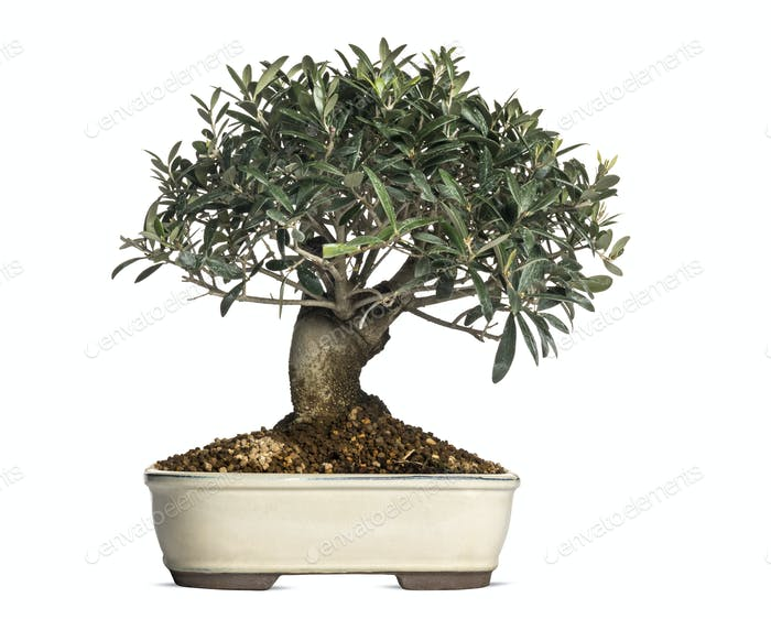 Olive, bonsai tree, olea europaea, isolated on white