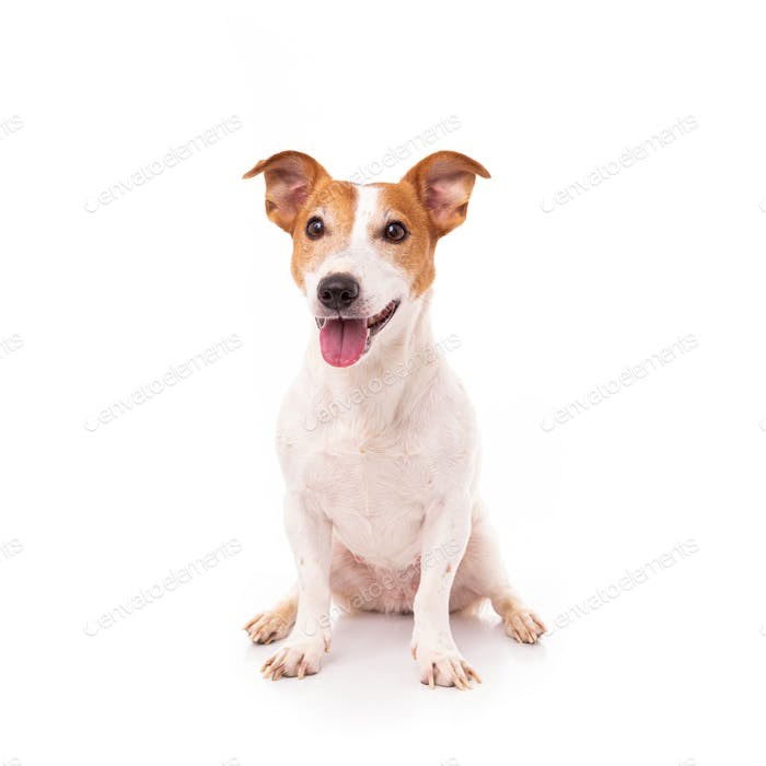 Jack Russell Terrier, isolated on white background at studio
