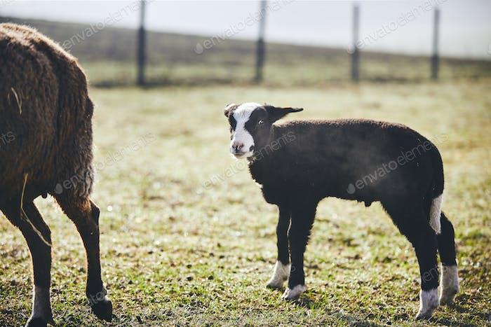 Lamb on the farm