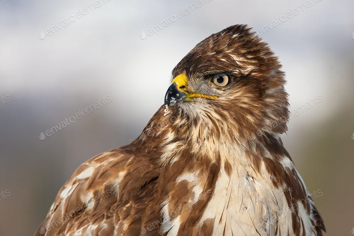 Horizontal close-up portrait of a wild common buzzard in winter