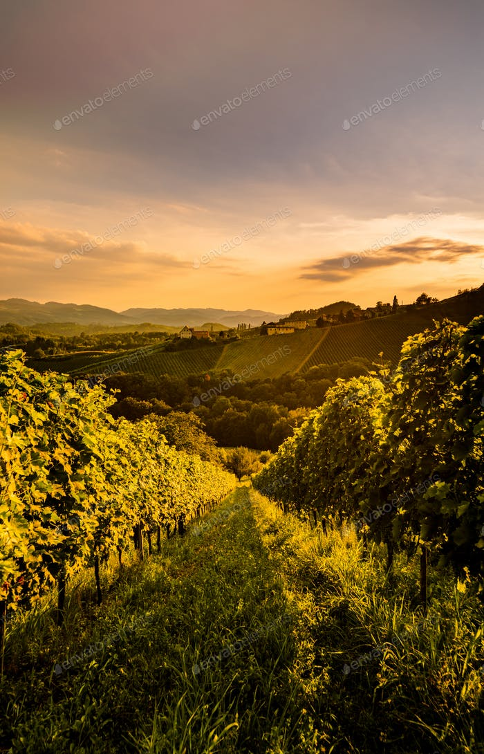 Wine country Vineyards in Austria, south Styria. Landscape sunset. Grape hills vertical photo