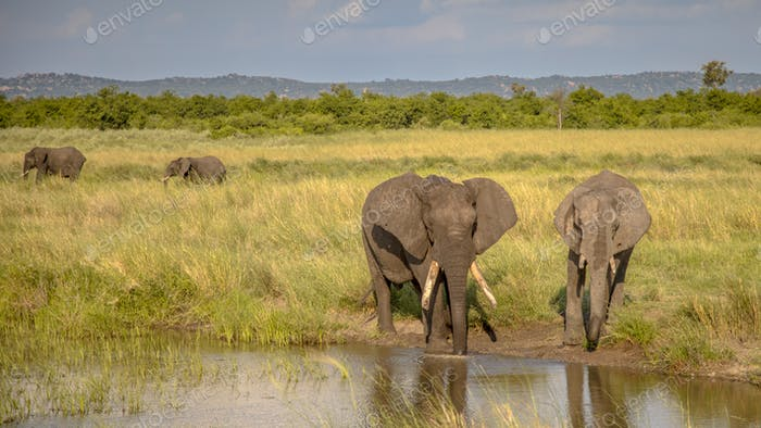 Two African Elephants drinking