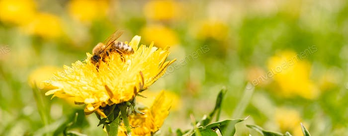 Honey bee covered with yellow pollen collecting nectar from dandelion flower. Important for