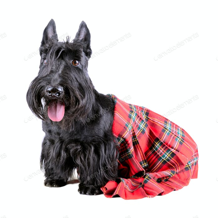 Highlander dog