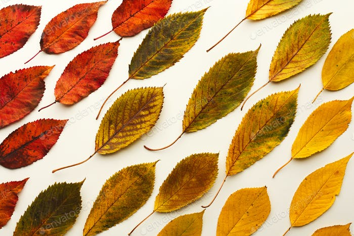 Fall ash leaves pattern isolated on white background