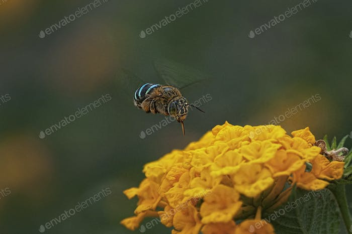 Bienen auf einer gelben Blume