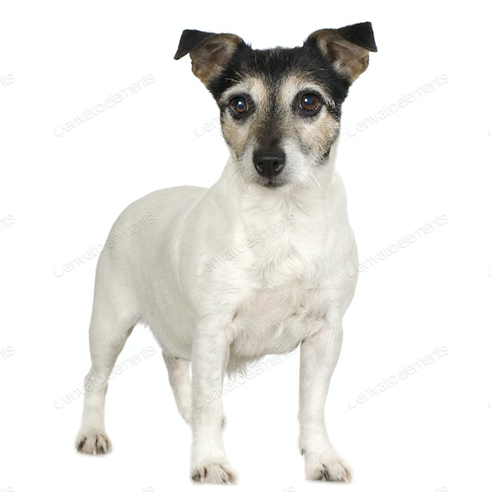 Jack russell (11 years)