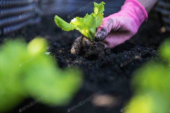 Planting spring lettuce seedling