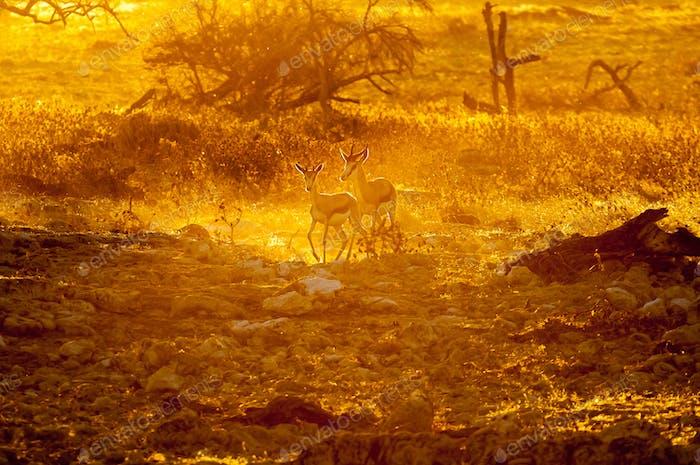 Springbok walking  in the last rays of the setting sun