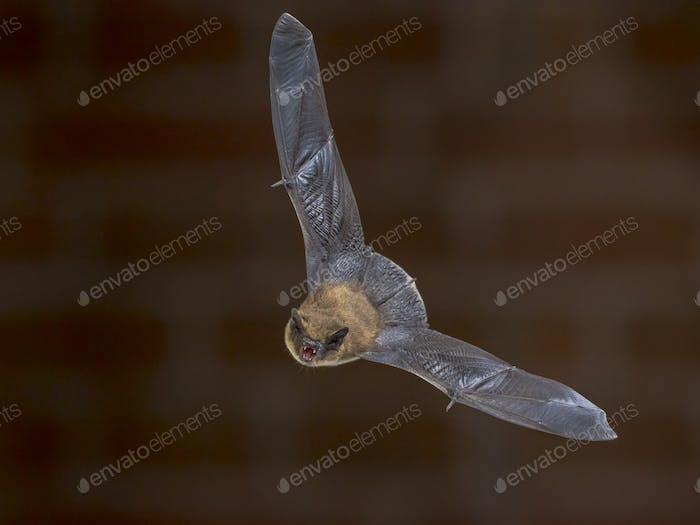 Flying Pipistrelle bat in front of brick wall