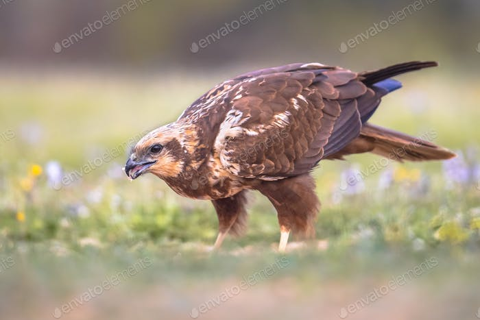 Marsh harrier female sideview