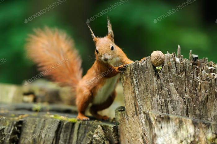 Squirrel with nuts