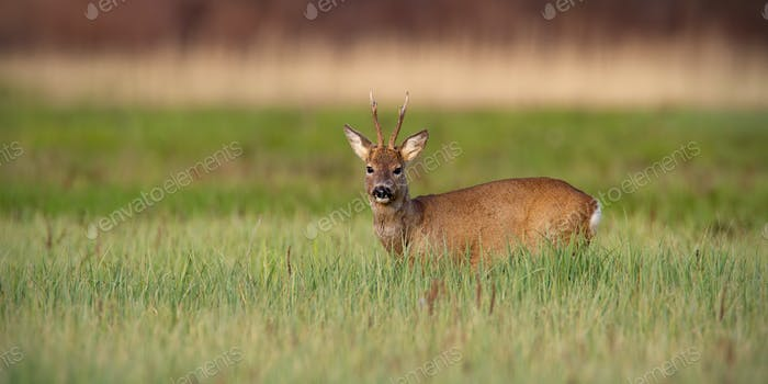 Roe deer buck in winter coat in spring standing on a green meadow in daylight