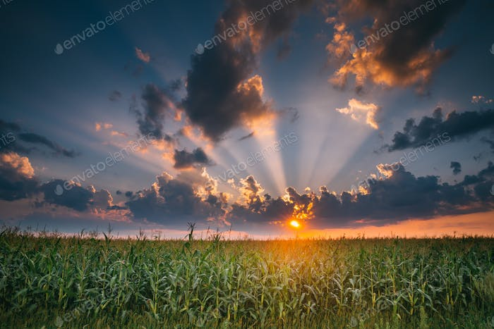 Summer Sunset Evening Above Countryside Rural Cornfield Landscap