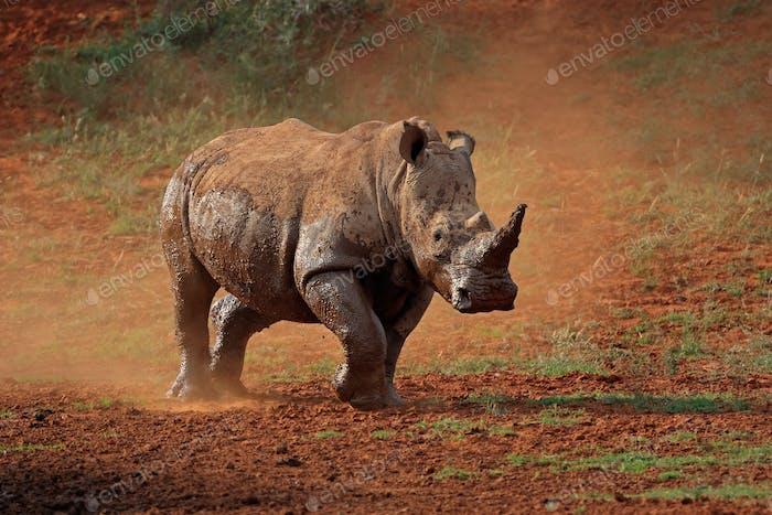 White rhinoceros in dust