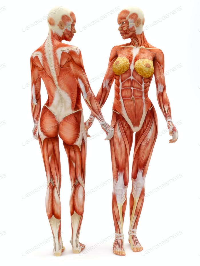 Female musculoskeletal system
