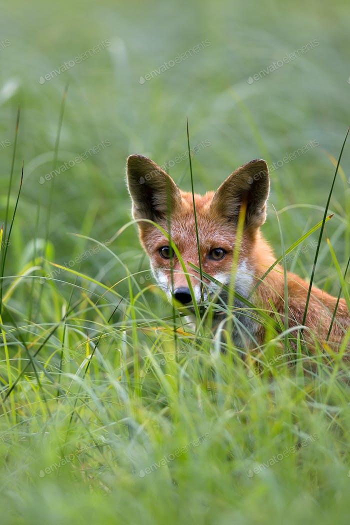 Fuchs versteckt im Gras, ein Porträt