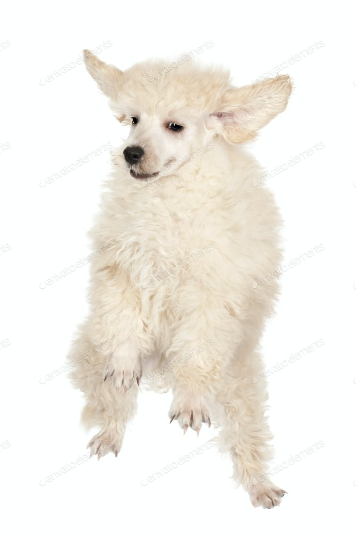 Flying Poodle puppy against white background