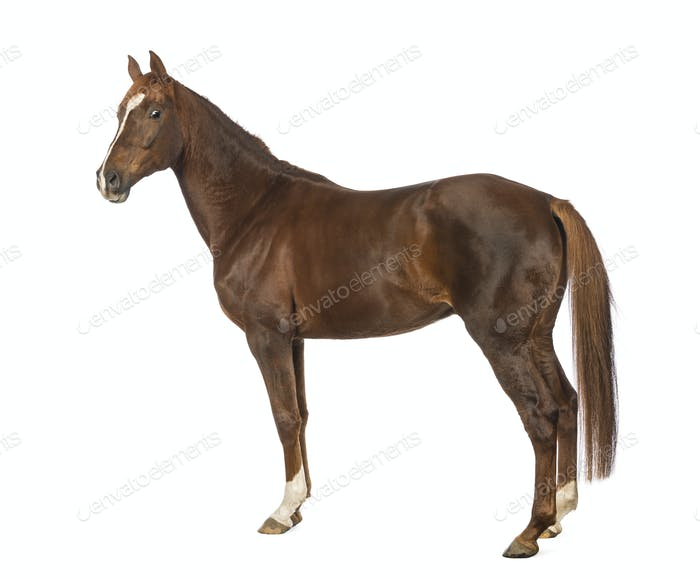 Side view of a Horse in front of white background
