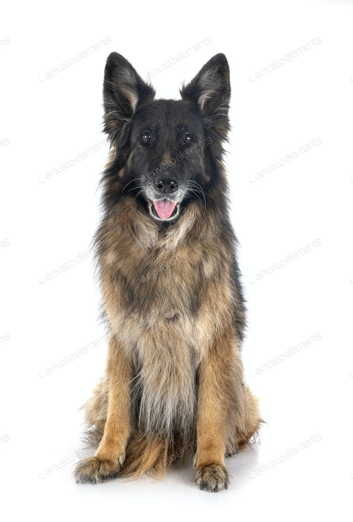 german shepherd in studio