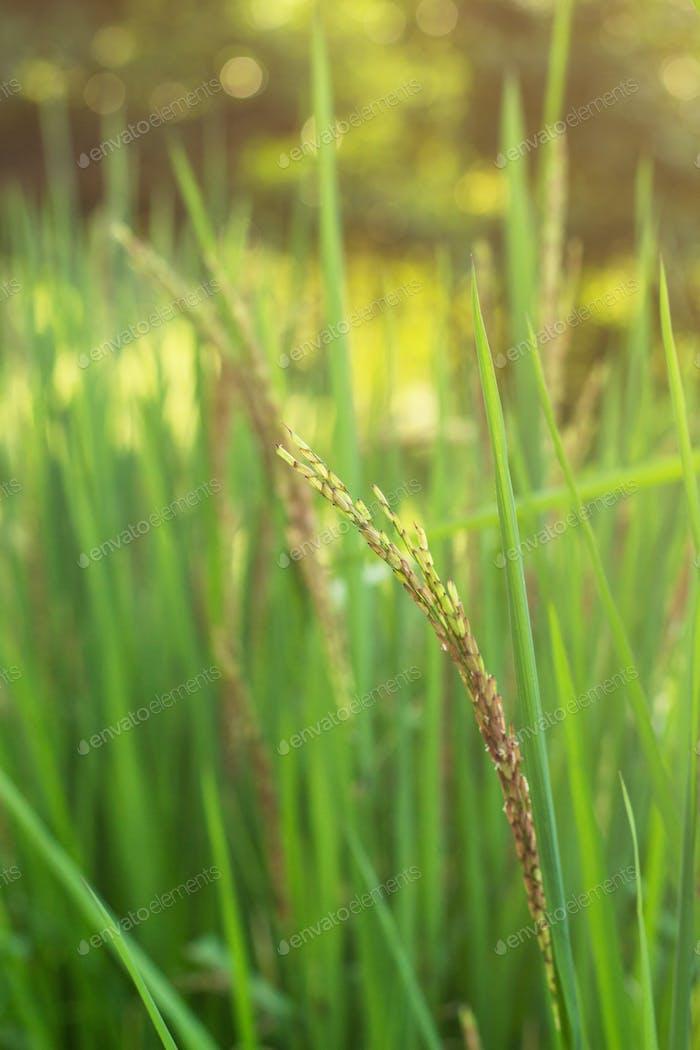 Rice on field
