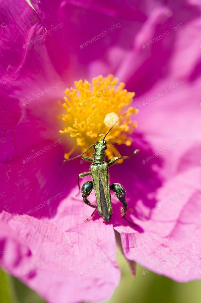 Grüne Insekt Coleopteron