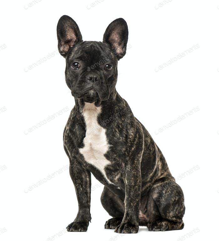 French Bulldog sitting, isolated on white
