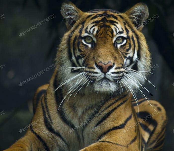 Tiger lying down looking at lens