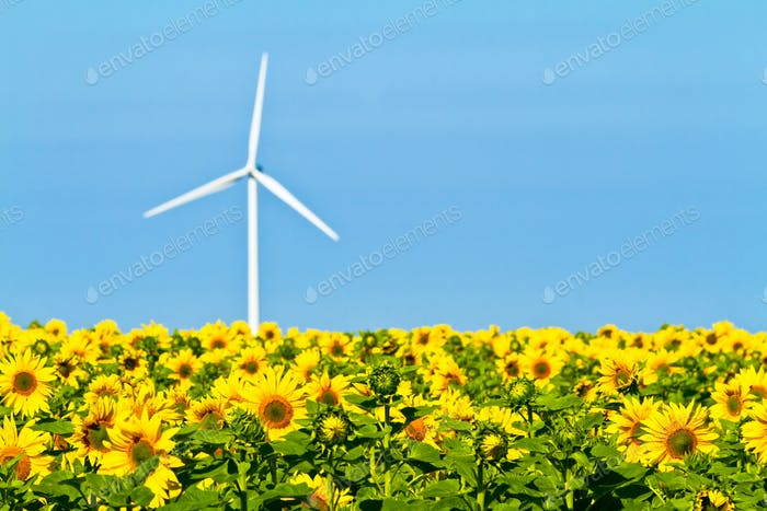 Windmills and sunflowers