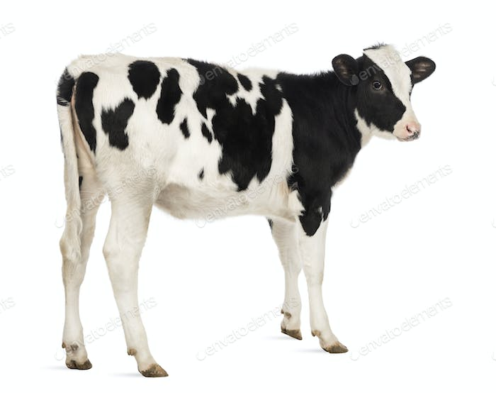 Rear view of a Veal, 8 months old, in front of white background