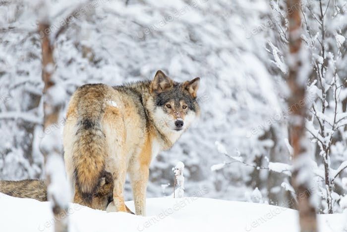 Focused wolf in pack looking backward in cold winter forest