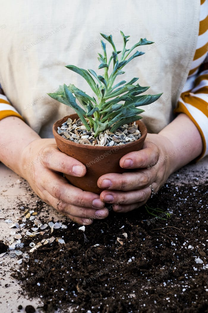 Close up of person holding terracotta pot with succulent.