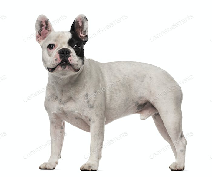 French Bulldog (4 years old)