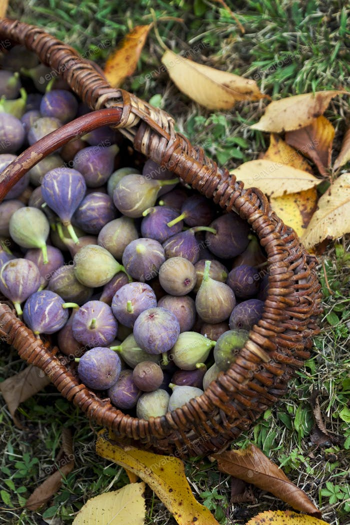 After picking Autumn figs in the garden